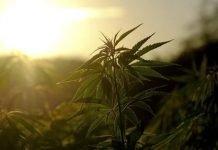 History Cannabis Nutshell